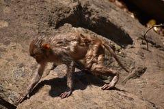 Ehrfürchtiges Schauen eines Affen, der nahe einem Wasserpool spielt Er haftet auf großem geradem Stein an, nachdem er Bad u. dort Stockfoto
