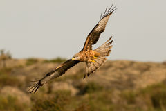 Ehrfürchtiger Raubvogel im Flug Lizenzfreie Stockfotos