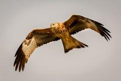 Ehrfürchtiger Raubvogel im Flug Lizenzfreie Stockbilder