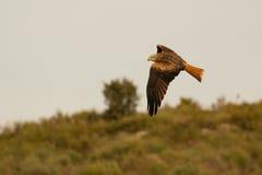 Ehrfürchtiger Raubvogel im Flug Stockfoto