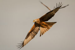 Ehrfürchtiger Raubvogel im Flug Stockbild