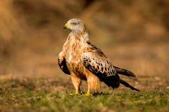 Ehrfürchtiger Vogel auf dem Gebiet mit Stockfoto