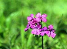 Ehrlichkeit (Lunaria annua) Lizenzfreies Stockfoto