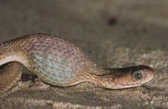 Ei dat slang eet die een ei slikt Stock Foto's