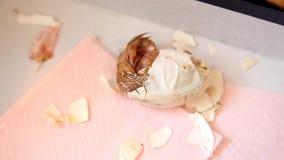 Ei des neugeborenen Kükens Reißverschluss zumachen, das getragen wird stock video