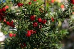 Eiben-Baum-Beere - sehr fröhlich Stockbilder