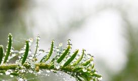 Eibenbaum mit Regentropfen stockbild