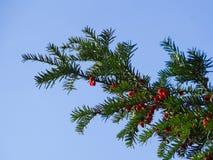 Eibenbaum mit roten Beeren Stockfoto
