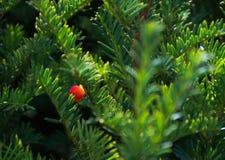 Eibenbaum mit roten Früchten Stockfotografie