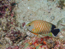 Eibli Anglefish Centropyge Blacktail Στοκ Εικόνα