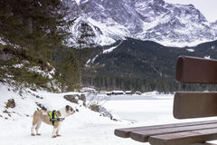 Eibsee lake in winter with dog Royalty Free Stock Image