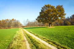 Eiche auf dem Gebiet (Herbst) Lizenzfreies Stockfoto