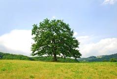 Eiche auf grünem Hügel Lizenzfreies Stockbild