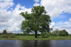 Eiche-Baum Lizenzfreie Stockbilder