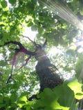 Eiche in den Solarlichtstrahlen Stockfotografie