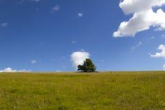 Eiche, die allein auf einer grünen Wiese steht Stockbild