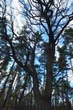 Eiche in einem blauen Himmel des Kiefernwaldfreien raumes lizenzfreie stockfotos