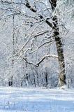 Eiche in einem Wald des verschneiten Winters Stockfotografie