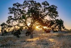 Eiche Hügel-Sonnenstrahlen Kaliforniens in den goldenen, die durch Baumaste glänzen lizenzfreies stockfoto