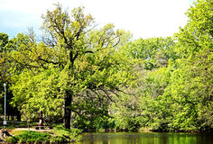 Eiche im Stadtpark Lizenzfreies Stockfoto