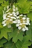 Eiche-leaved Hortensie, Blumen und Blätter Stockfotografie