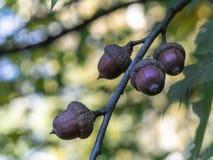 Eiche mit grünen Blättern und Eicheln lizenzfreie stockfotos