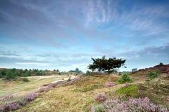 Eiche und blühende Heide auf Dünen Stockfotografie