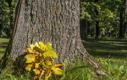 Eiche und goldene Blätter Lizenzfreie Stockfotos