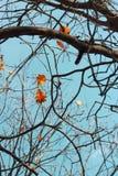 Eiche verlässt auf der Niederlassung des Baums Lizenzfreies Stockfoto