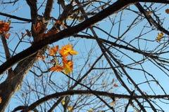 Eiche verlässt auf der Niederlassung des Baums Stockbilder