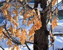 Eiche verlässt gefroren auf dem Baum Stockbild