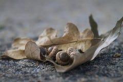 Eiche verlässt mit Eicheln auf einem Zementhintergrund stockbild