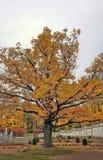 Eiche von Zeiten von großem Peter im Park Kadriorg stockfoto