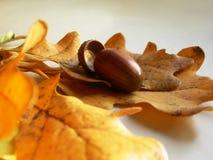 Eichel auf von Eichenholz Blätter Lizenzfreie Stockfotografie
