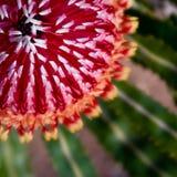 Eichel Banksia-Blume und Blätter Stockfoto