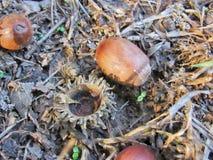 Eichelnüsse auf dem Boden lizenzfreie stockfotos