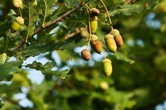 Eicheln auf Baum Stockfotografie