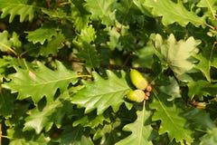 Eicheln auf Baum Stockbild