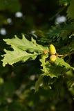 Eicheln auf Baum Lizenzfreies Stockbild