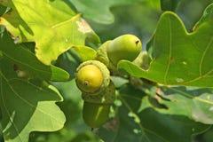 Eicheln auf dem Eichebaum Stockfotografie