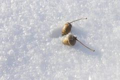 Eicheln auf dem Schnee, beleuchtet durch die Sonne an einem Wintertag Lizenzfreie Stockbilder