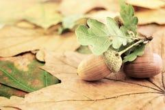 Eicheln auf den Blättern Lizenzfreie Stockfotografie