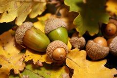 Eicheln auf Herbstblättern Lizenzfreie Stockfotografie