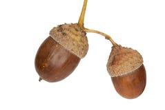 Eicheln einer Pedunculate Eiche, getrennt Lizenzfreie Stockfotografie