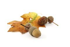 Eicheln mit Eichenblättern Lizenzfreies Stockfoto