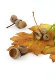 Eicheln mit einem Eichenblatt Stockbild