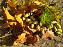 Eicheln und Blätter Stockfoto