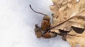 Eicheln und Eichenblätter auf dem Schnee lizenzfreie stockfotografie