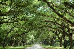Eichen-Bäume entlang Land-Straße Lizenzfreies Stockfoto
