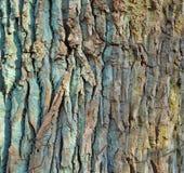 Eichen-Barke mit vielen Sprüngen Stockfoto